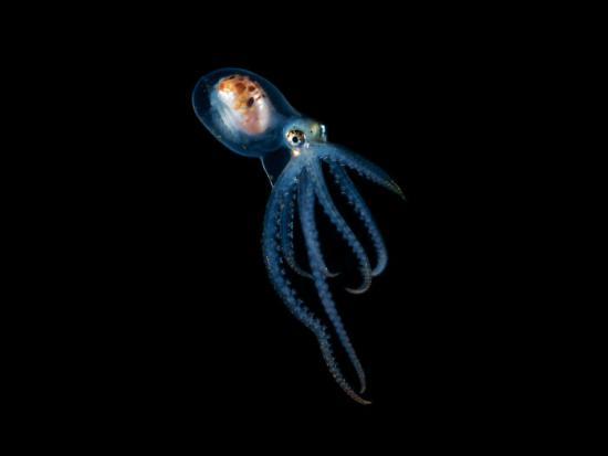 攝影師拍到一只頭部透明的小章魚,你甚至可以清晰看到它的大腦